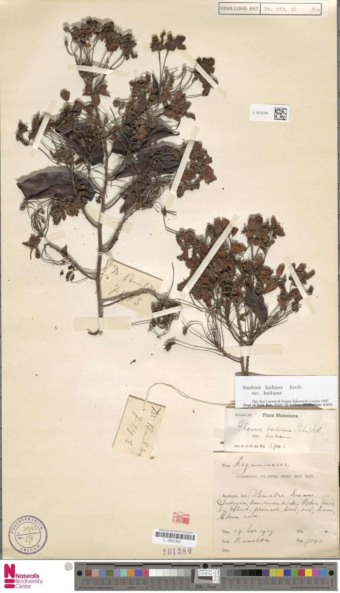 L.1975794 | Bauhinia kockiana var. kockiana