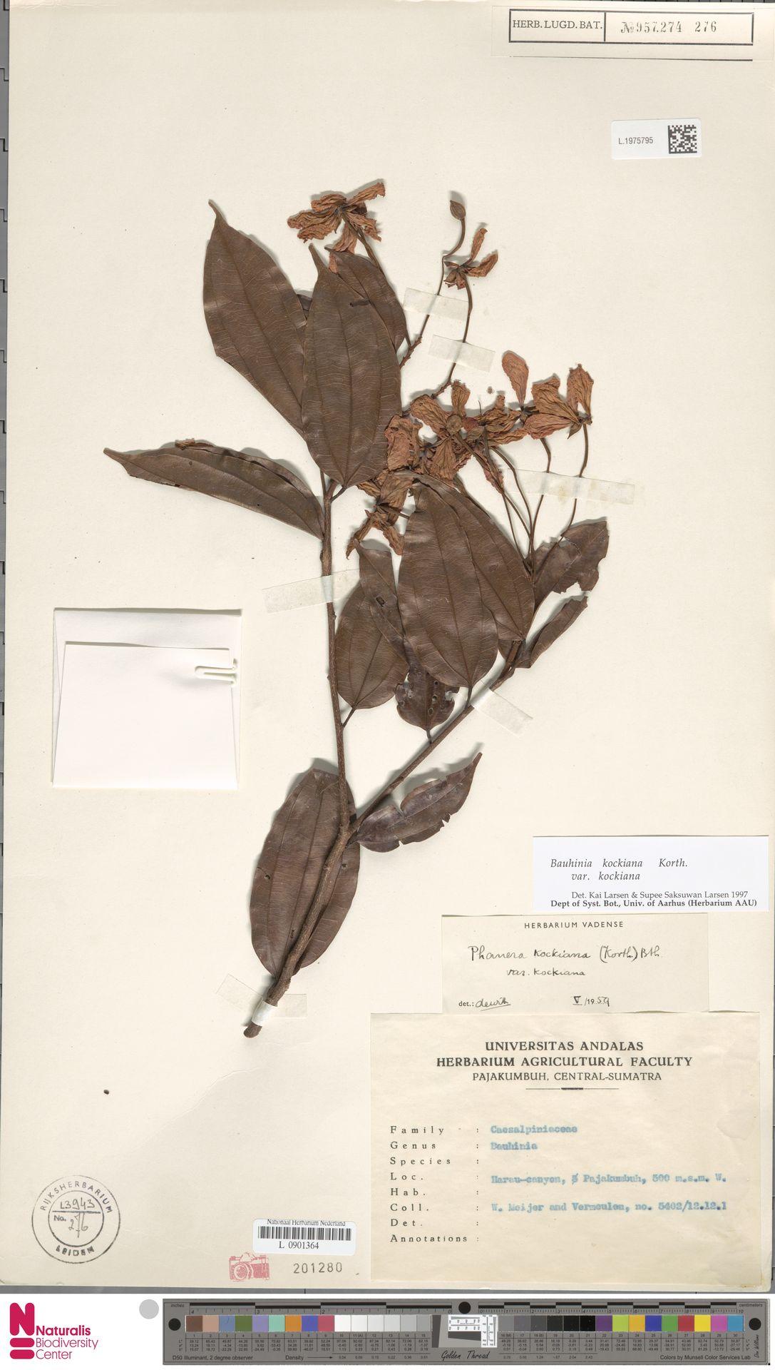 L.1975795 | Bauhinia kockiana var. kockiana