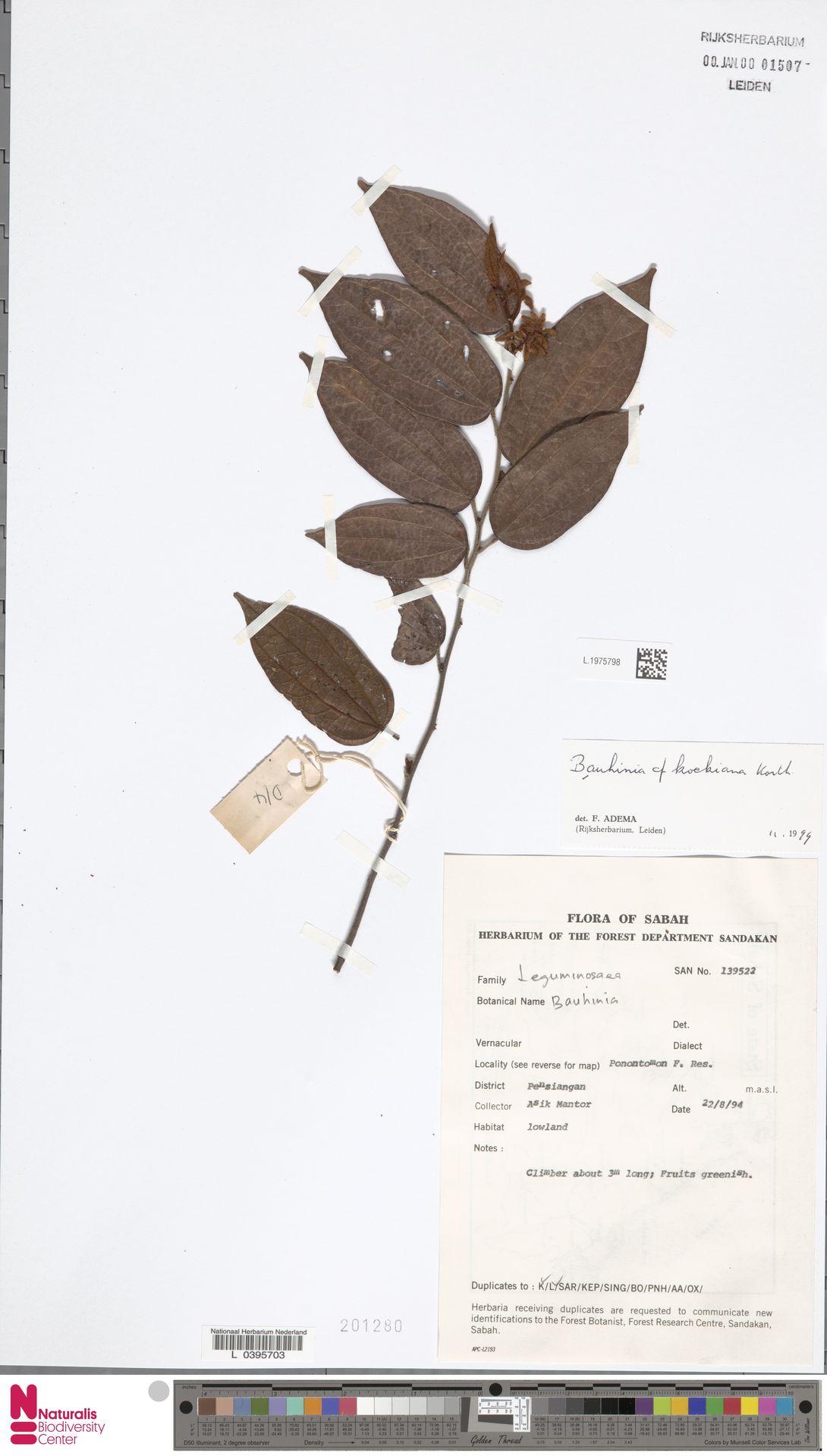 L.1975798   Bauhinia kockiana Korth.