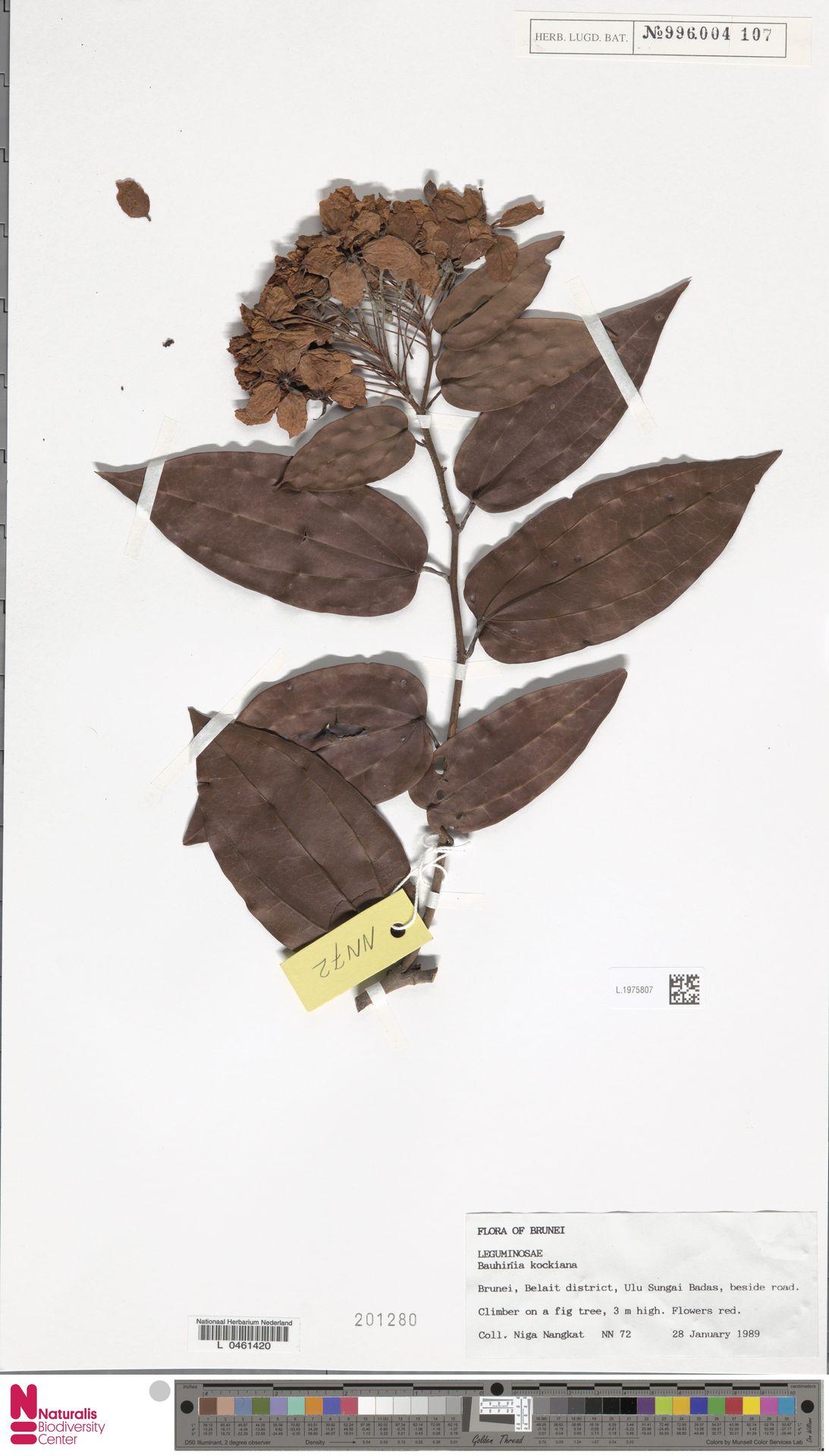 L.1975807 | Bauhinia kockiana Korth.