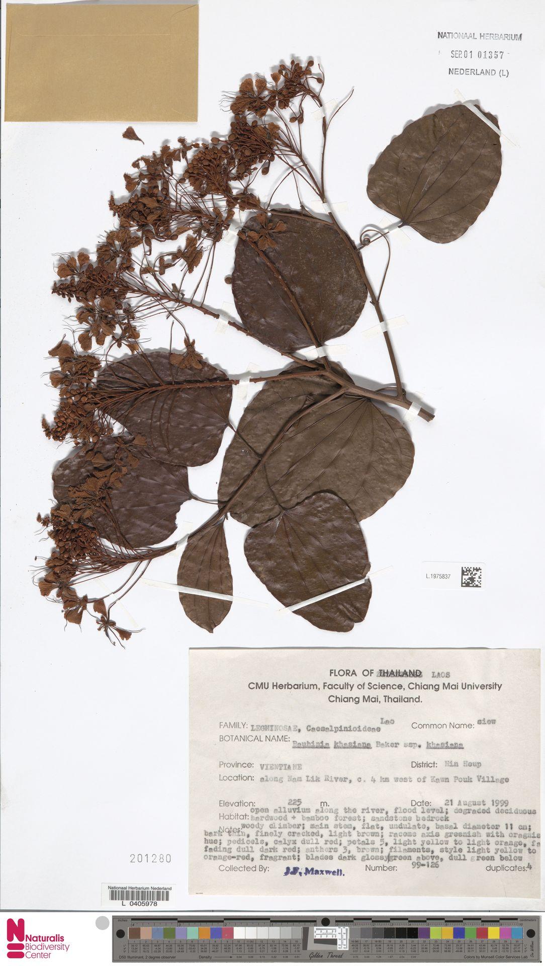 L.1975837 | Bauhinia khasiana subsp. khasiana