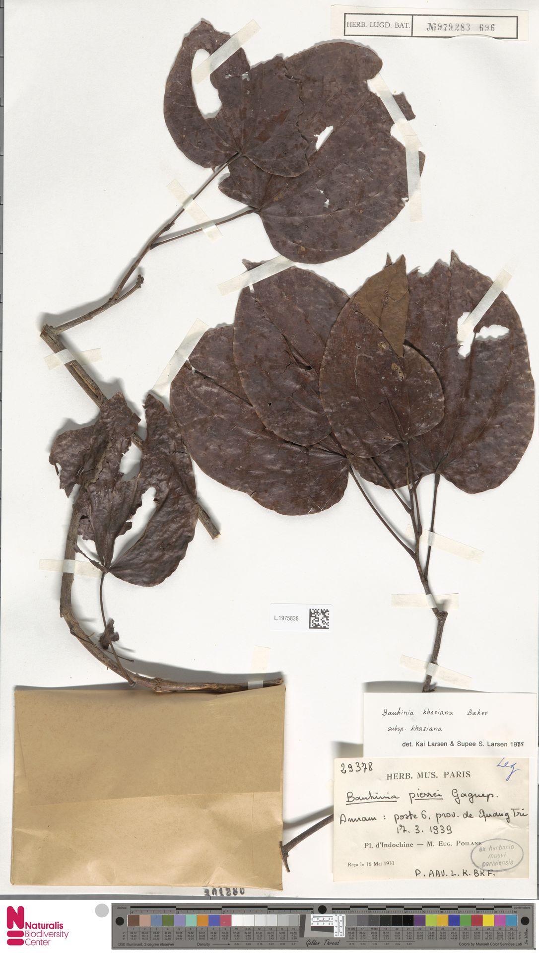 L.1975838 | Bauhinia khasiana subsp. khasiana
