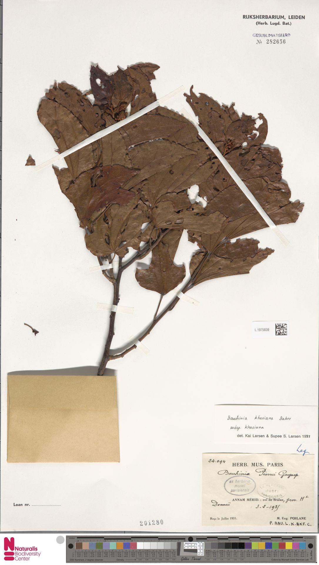 L.1975839 | Bauhinia khasiana subsp. khasiana