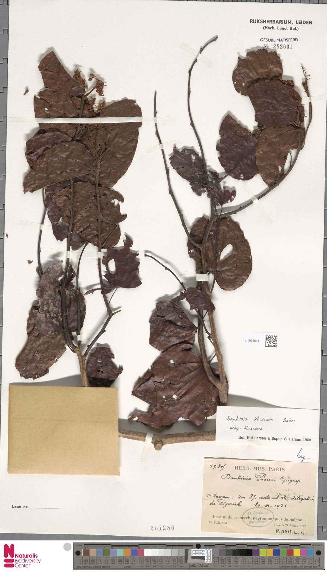 L.1975841 | Bauhinia khasiana subsp. khasiana