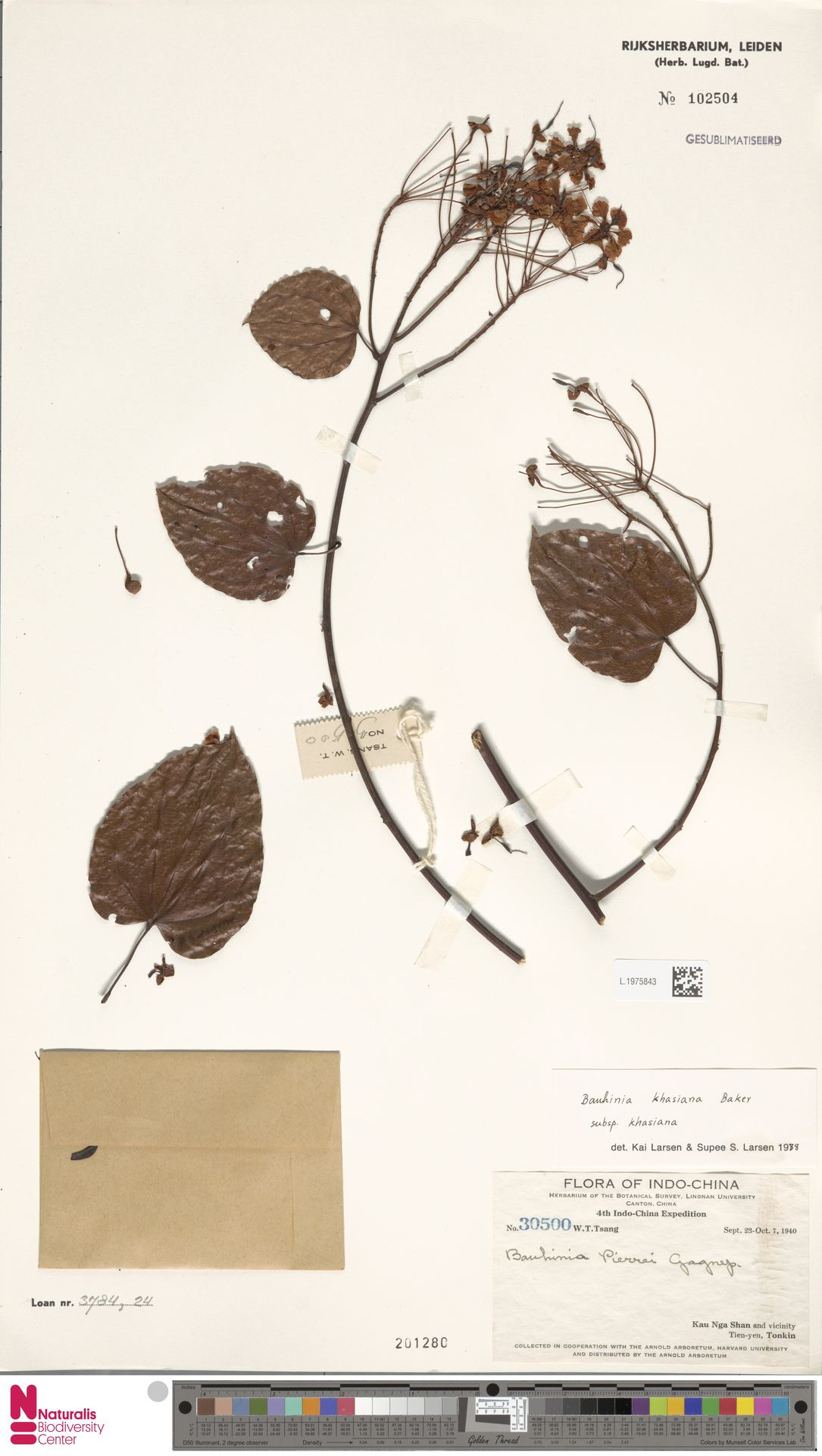 L.1975843 | Bauhinia khasiana subsp. khasiana