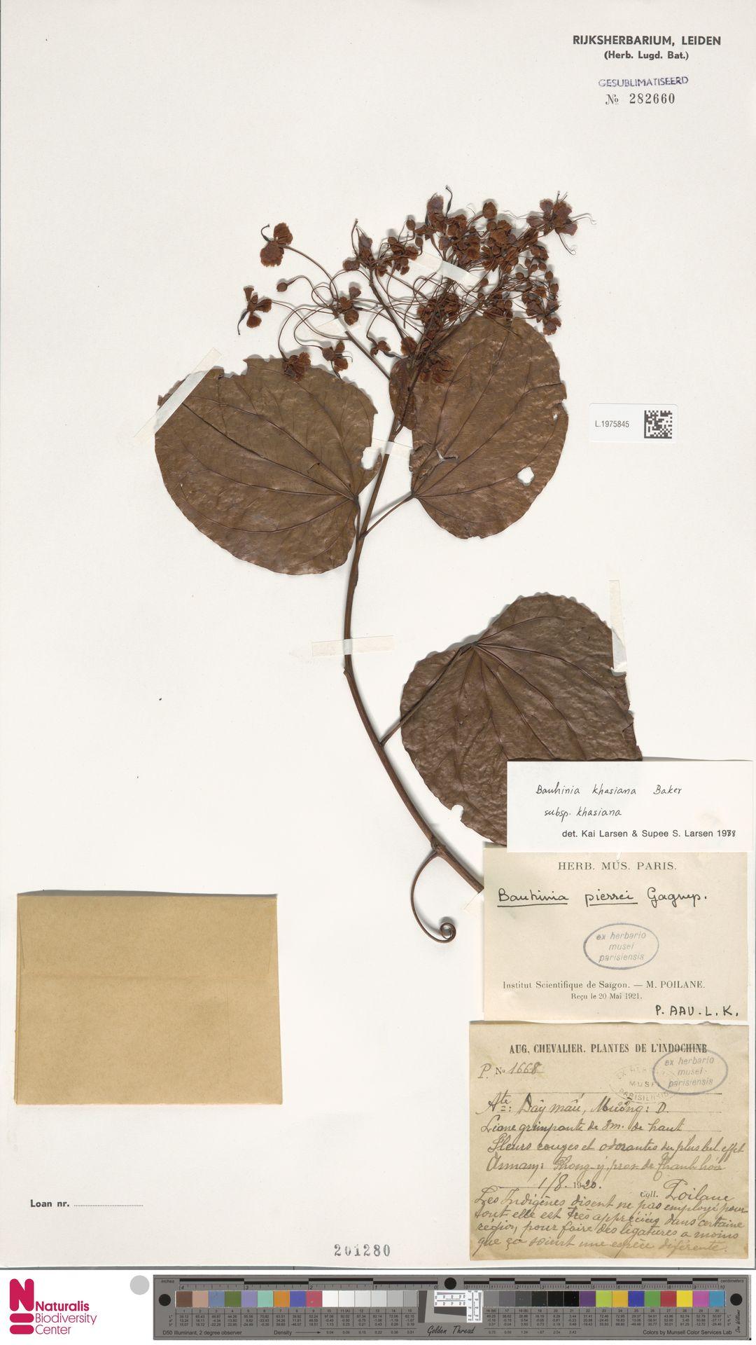 L.1975845 | Bauhinia khasiana subsp. khasiana