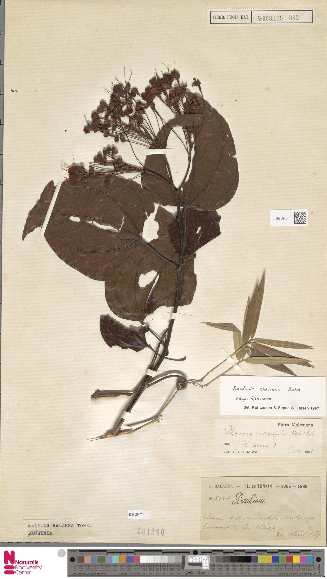 L.1975846 | Bauhinia khasiana subsp. khasiana