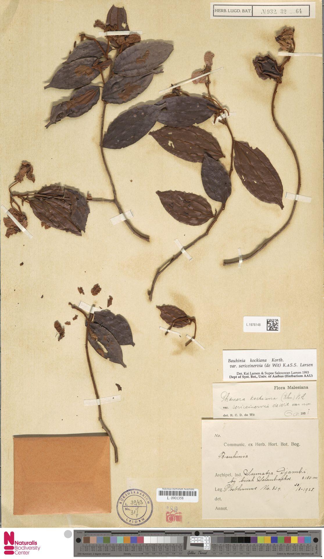 L.1976148 | Bauhinia kockiana var. sericeinervia (de Wit) K.Larsen & S.S.Larsen