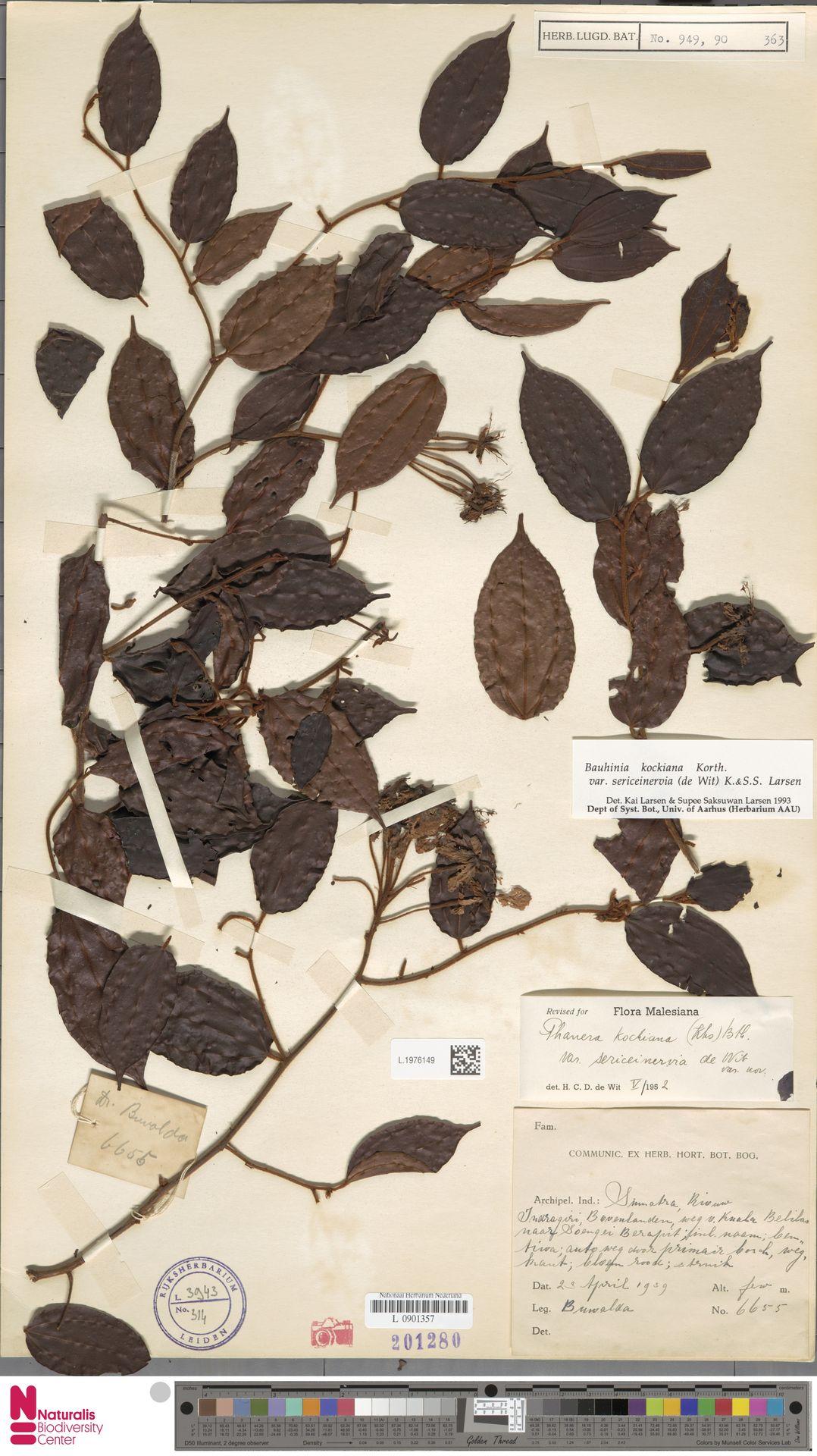 L.1976149 | Bauhinia kockiana var. sericeinervia (de Wit) K.Larsen & S.S.Larsen