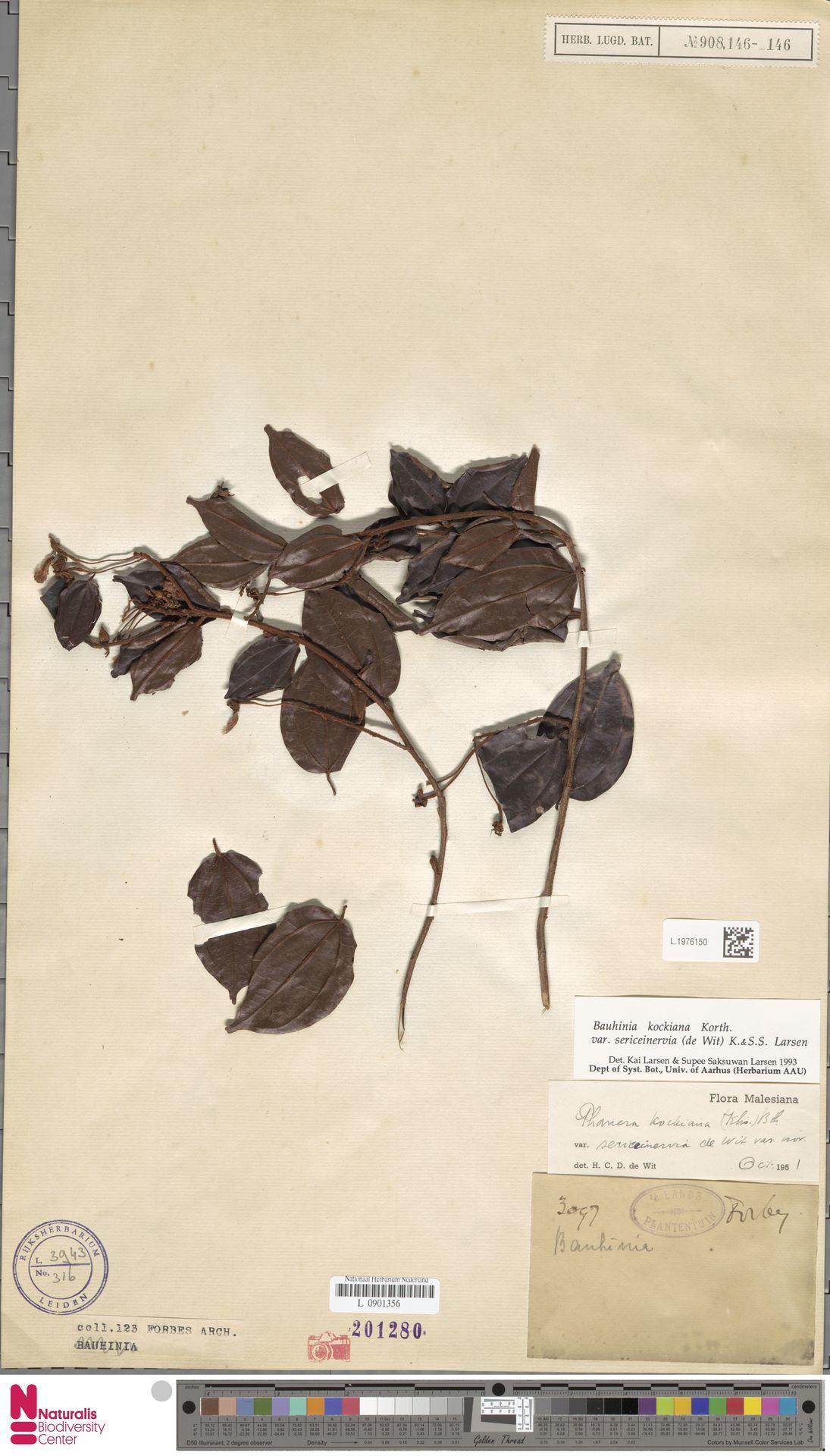 L.1976150 | Bauhinia kockiana var. sericeinervia (de Wit) K.Larsen & S.S.Larsen