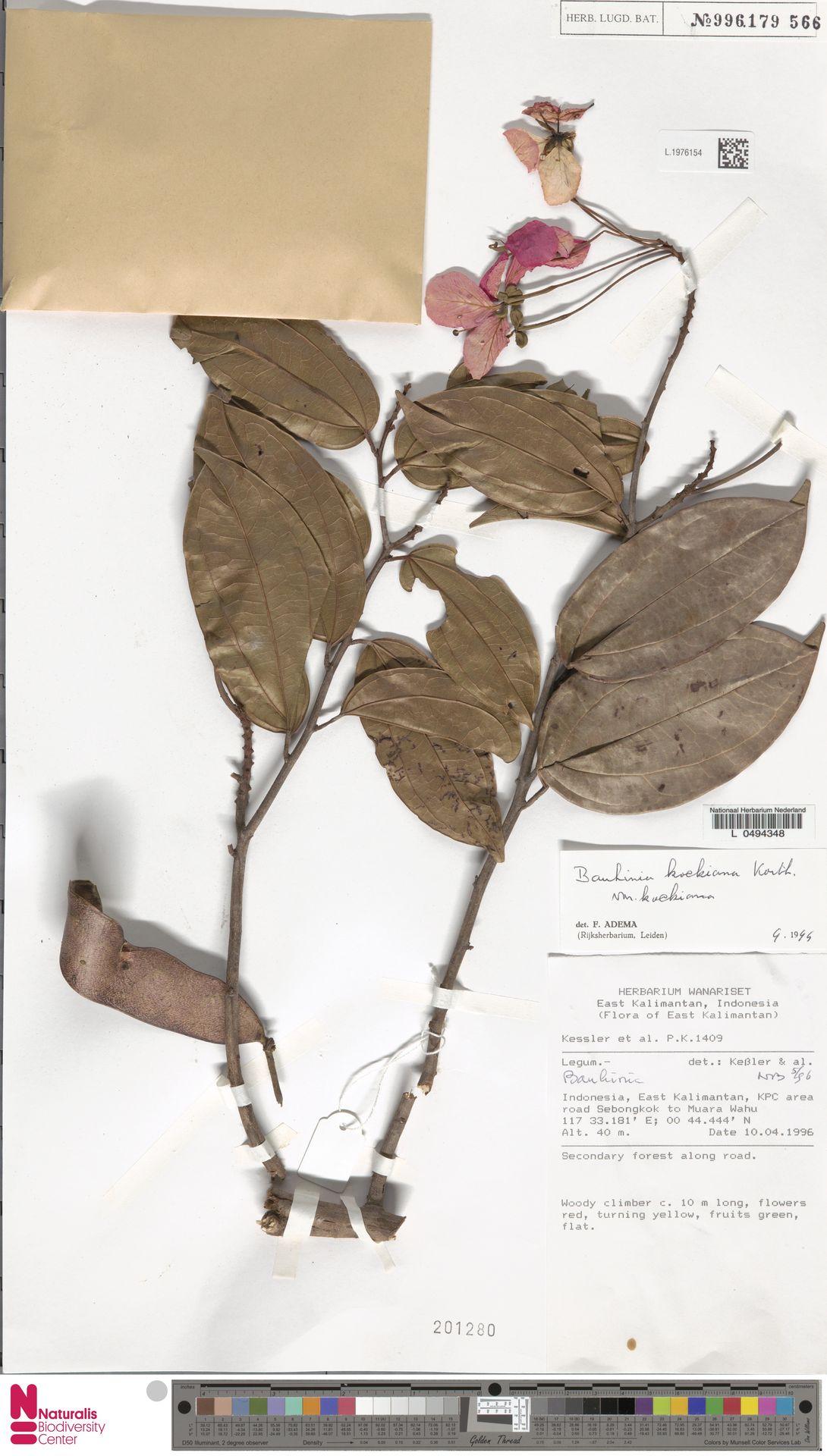 L.1976154 | Bauhinia kockiana var. kockiana