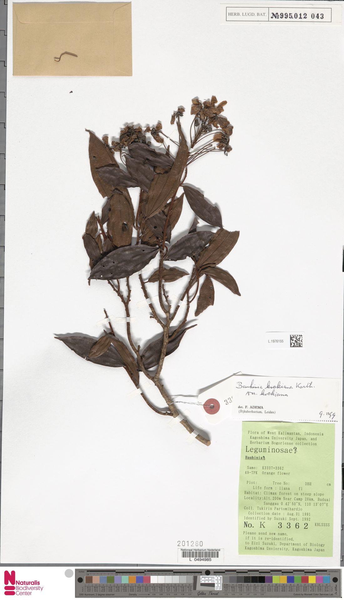 L.1976155 | Bauhinia kockiana var. kockiana