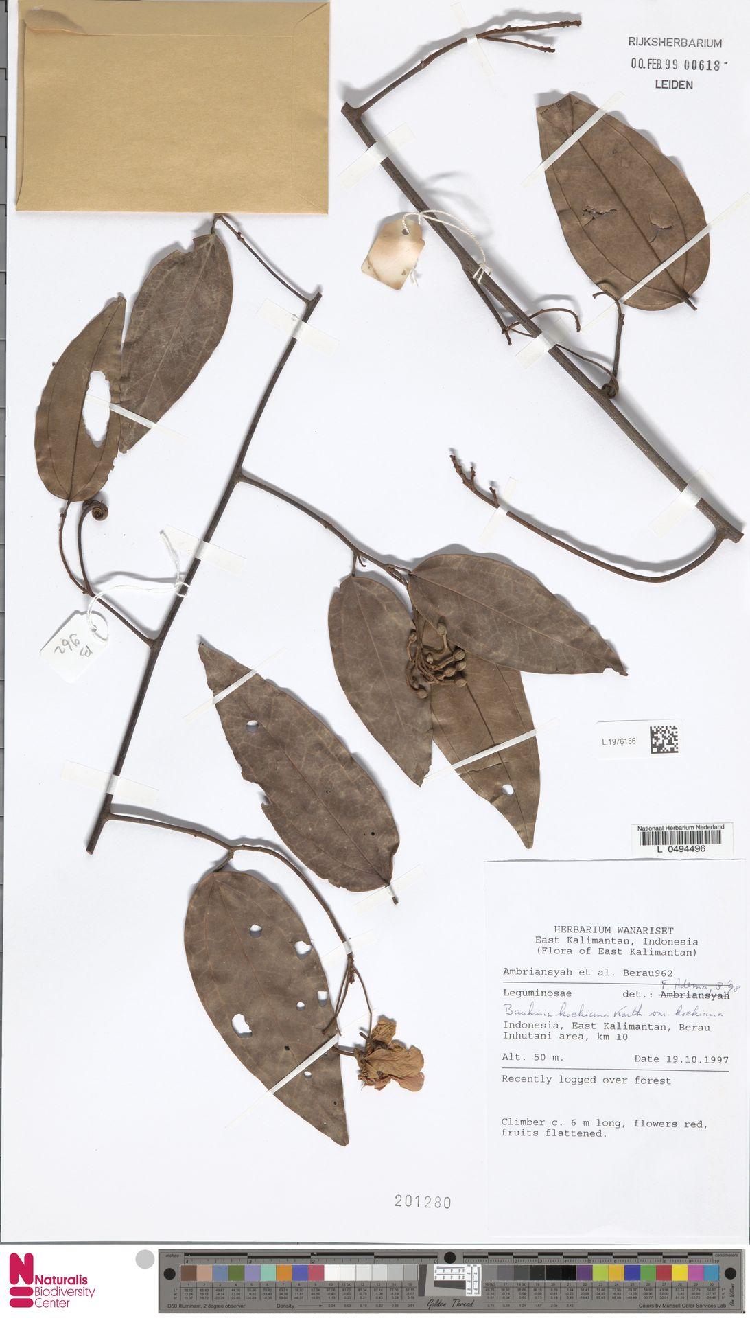 L.1976156 | Bauhinia kockiana var. kockiana