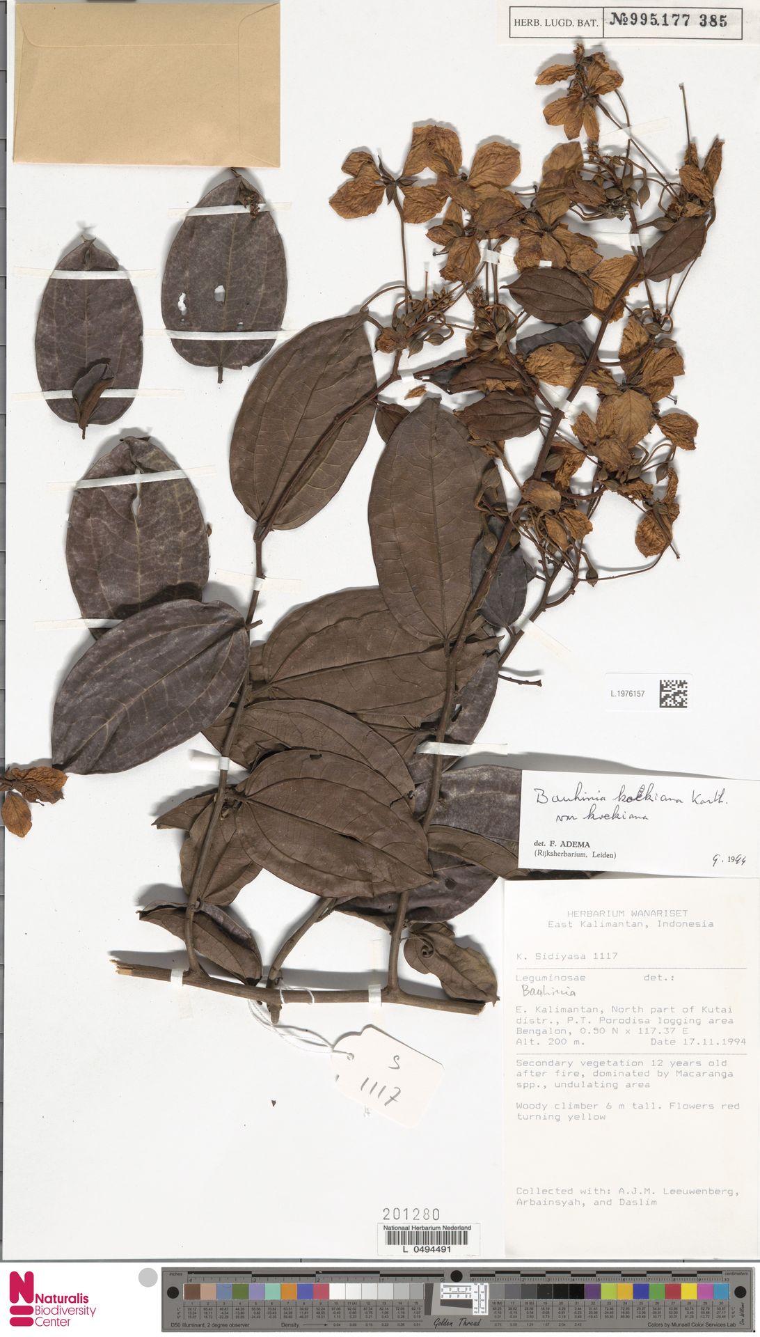 L.1976157 | Bauhinia kockiana var. kockiana
