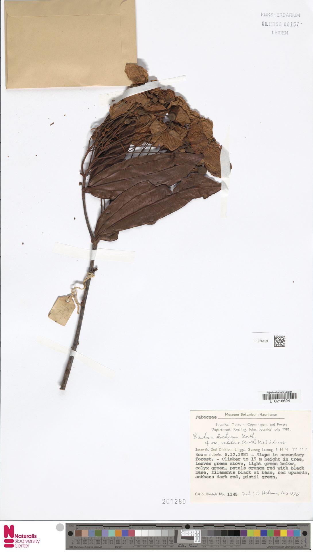 L.1976159   Bauhinia kockiana var. velutina (de Wit) K.Larsen & S.S.Larsen