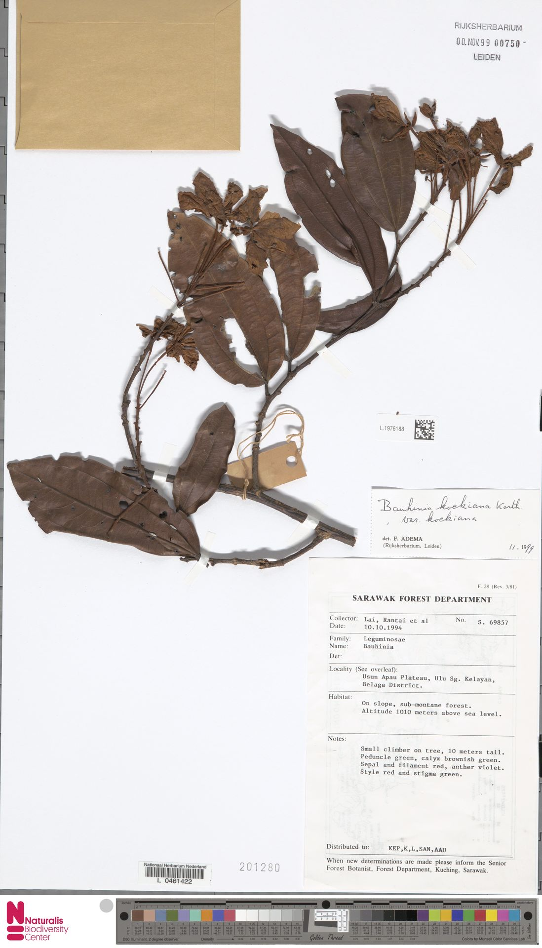 L.1976188 | Bauhinia kockiana var. kockiana