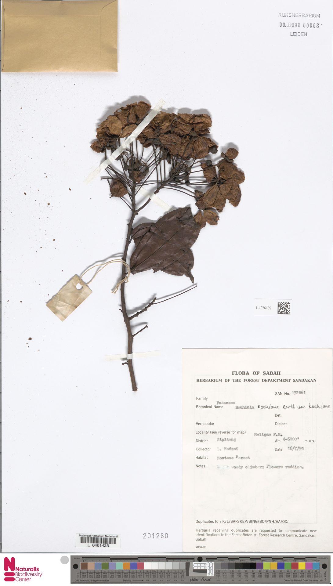 L.1976189 | Bauhinia kockiana var. kockiana