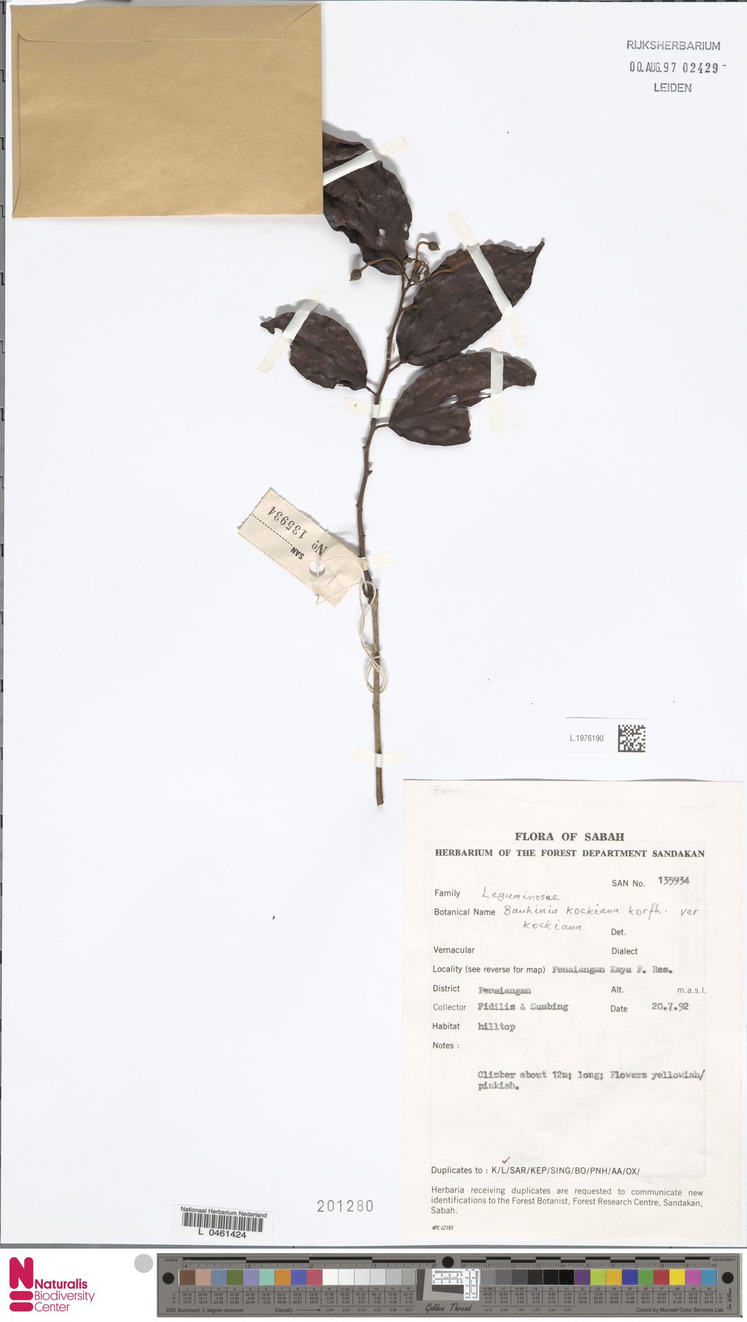 L.1976190 | Bauhinia kockiana var. kockiana