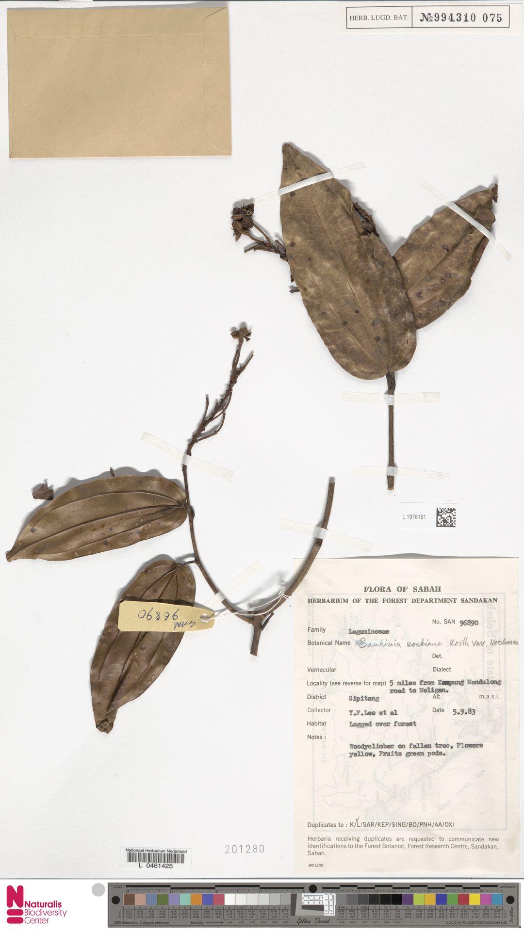 L.1976191 | Bauhinia kockiana var. kockiana