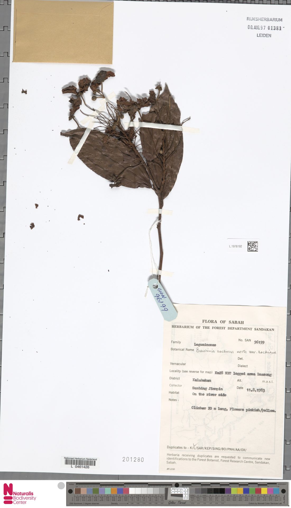 L.1976192 | Bauhinia kockiana var. kockiana