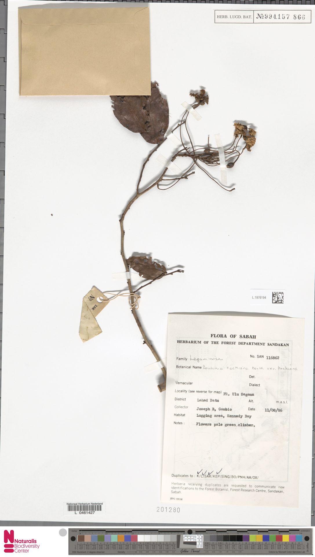 L.1976194 | Bauhinia kockiana var. kockiana