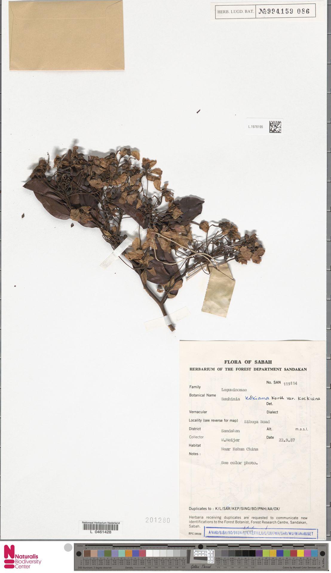 L.1976195 | Bauhinia kockiana var. kockiana