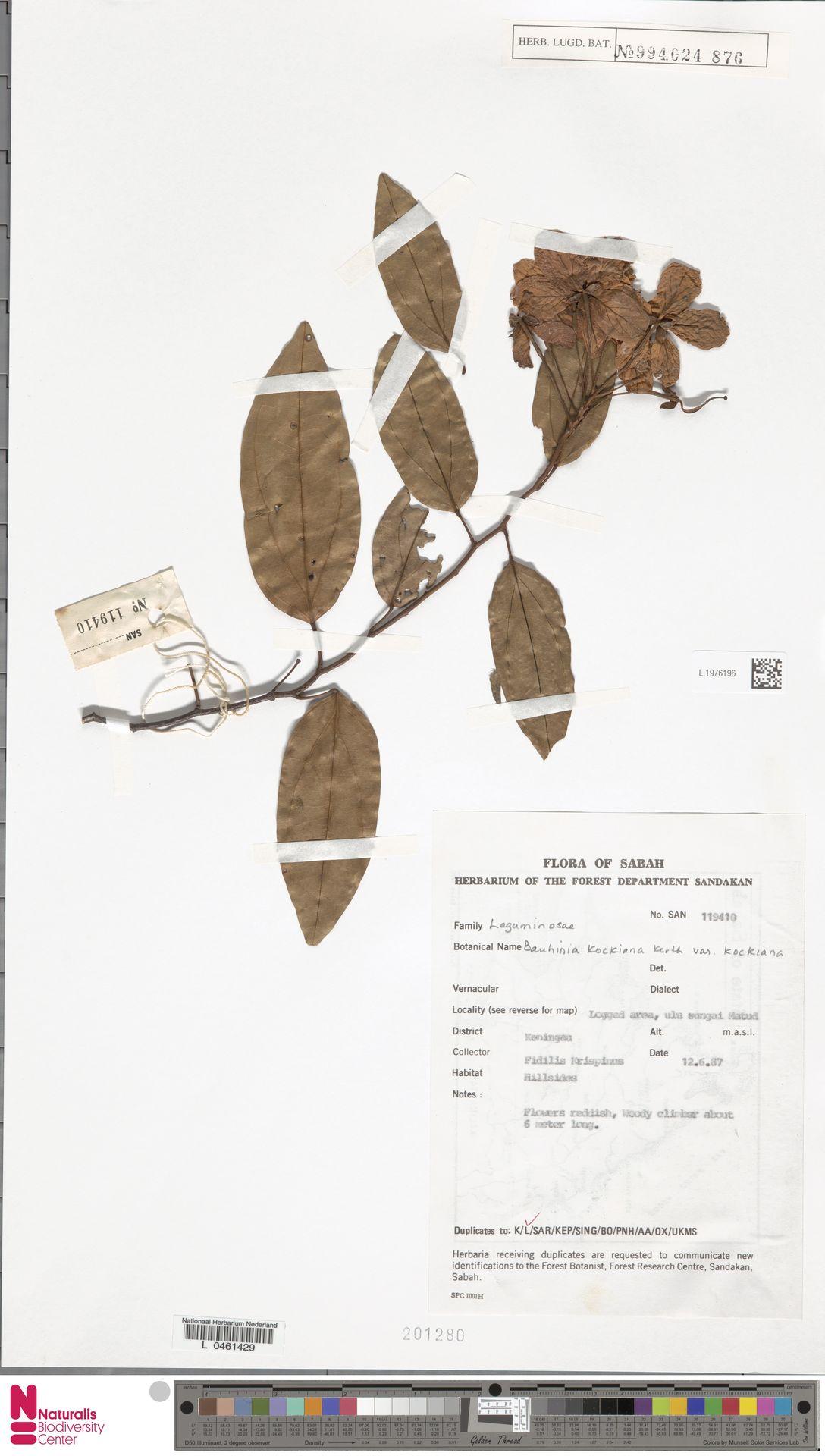 L.1976196 | Bauhinia kockiana var. kockiana