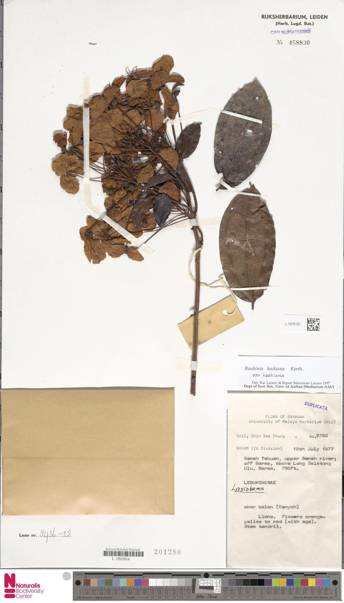L.1976197 | Bauhinia kockiana var. kockiana
