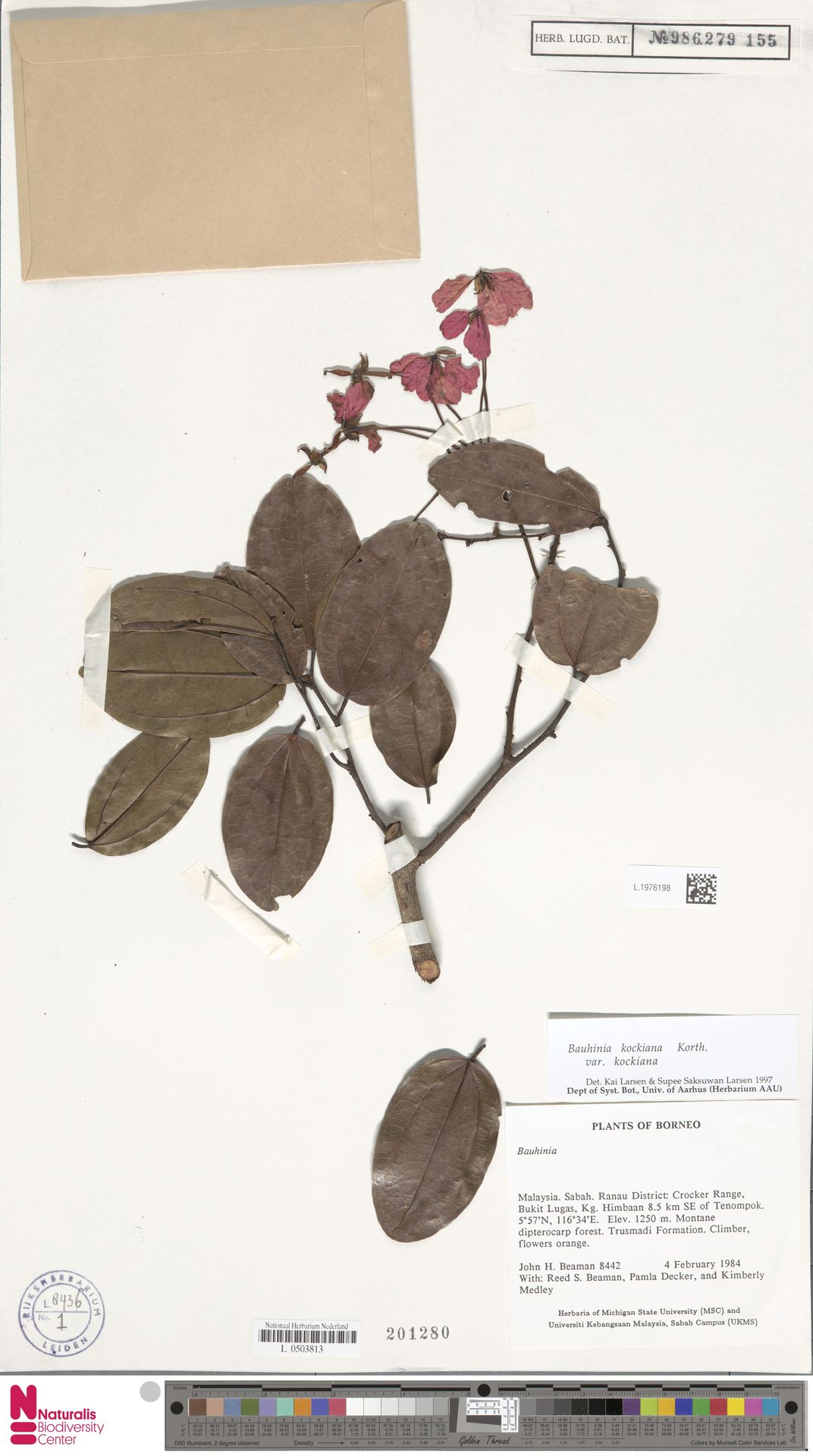 L.1976198 | Bauhinia kockiana var. kockiana