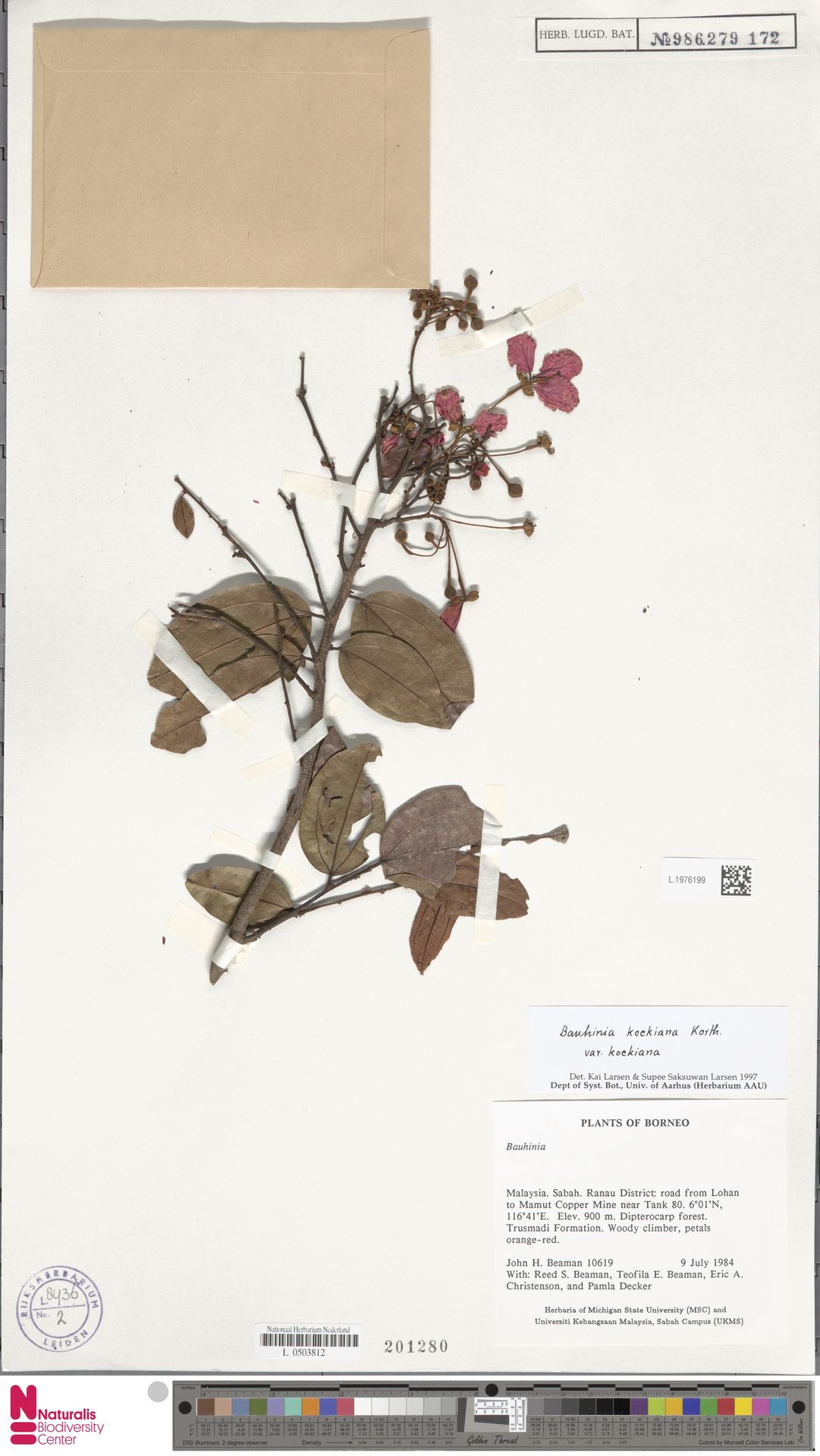 L.1976199 | Bauhinia kockiana var. kockiana
