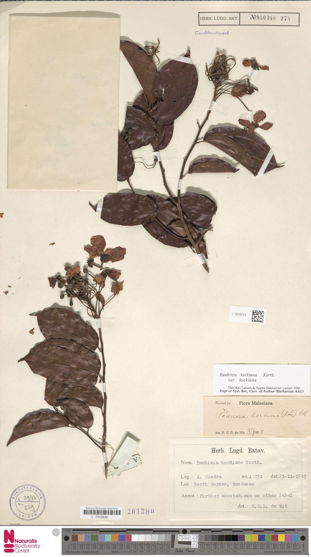 L.1976213 | Bauhinia kockiana var. kockiana