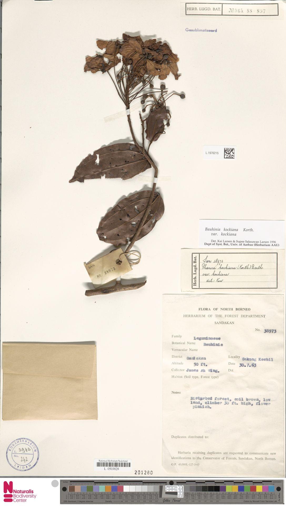 L.1976215 | Bauhinia kockiana var. kockiana
