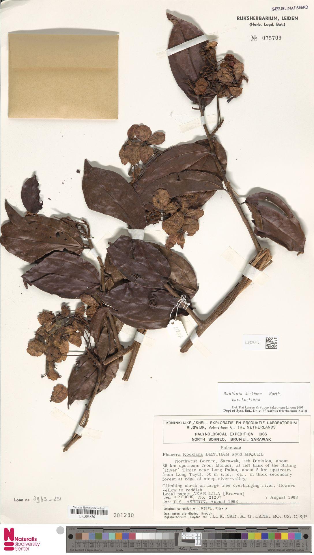 L.1976217 | Bauhinia kockiana var. kockiana