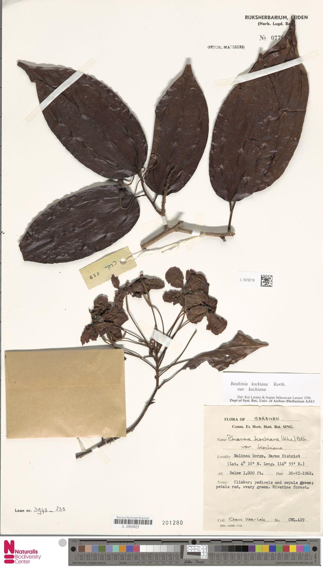 L.1976218 | Bauhinia kockiana var. kockiana