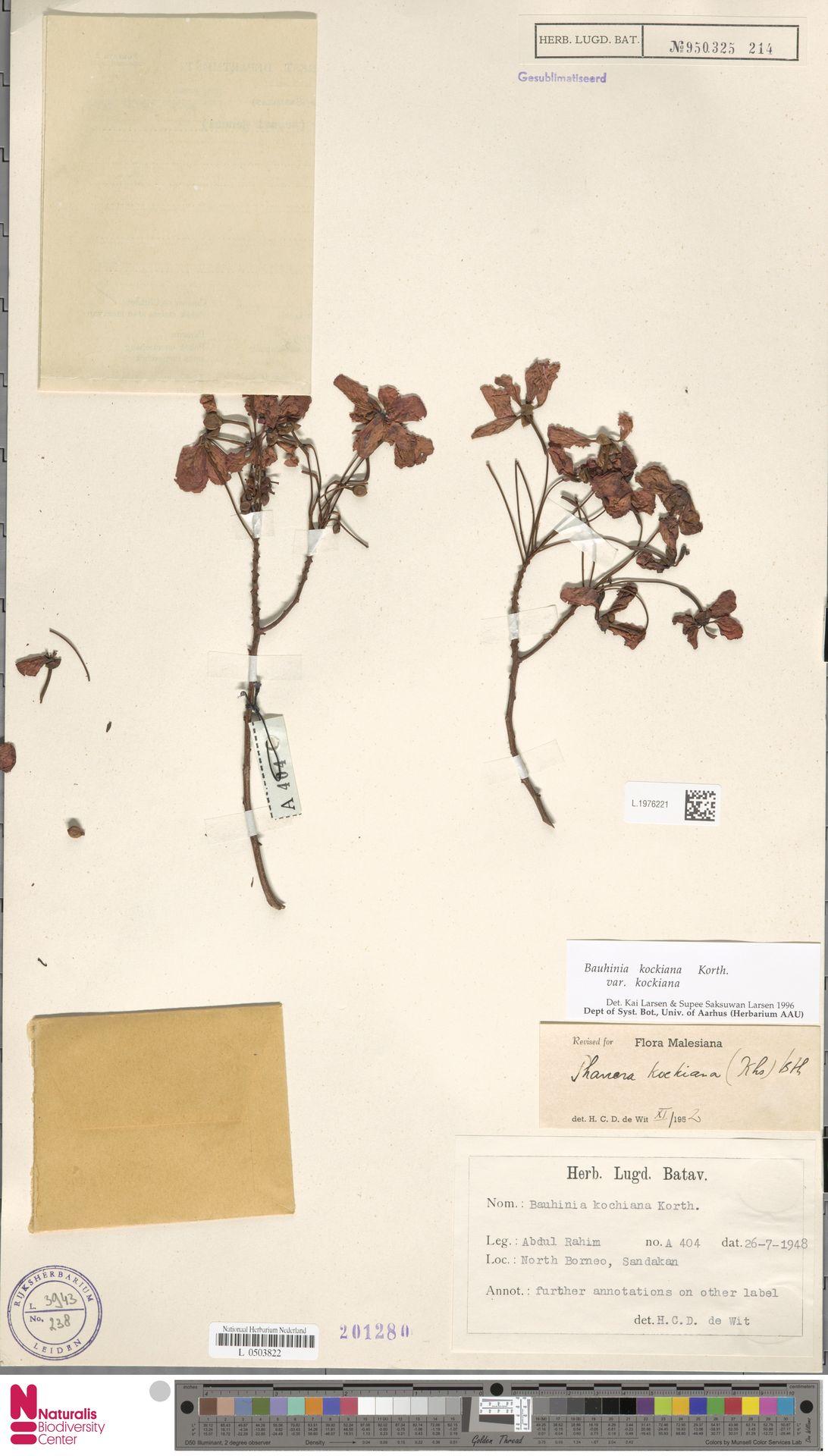 L.1976221 | Bauhinia kockiana var. kockiana