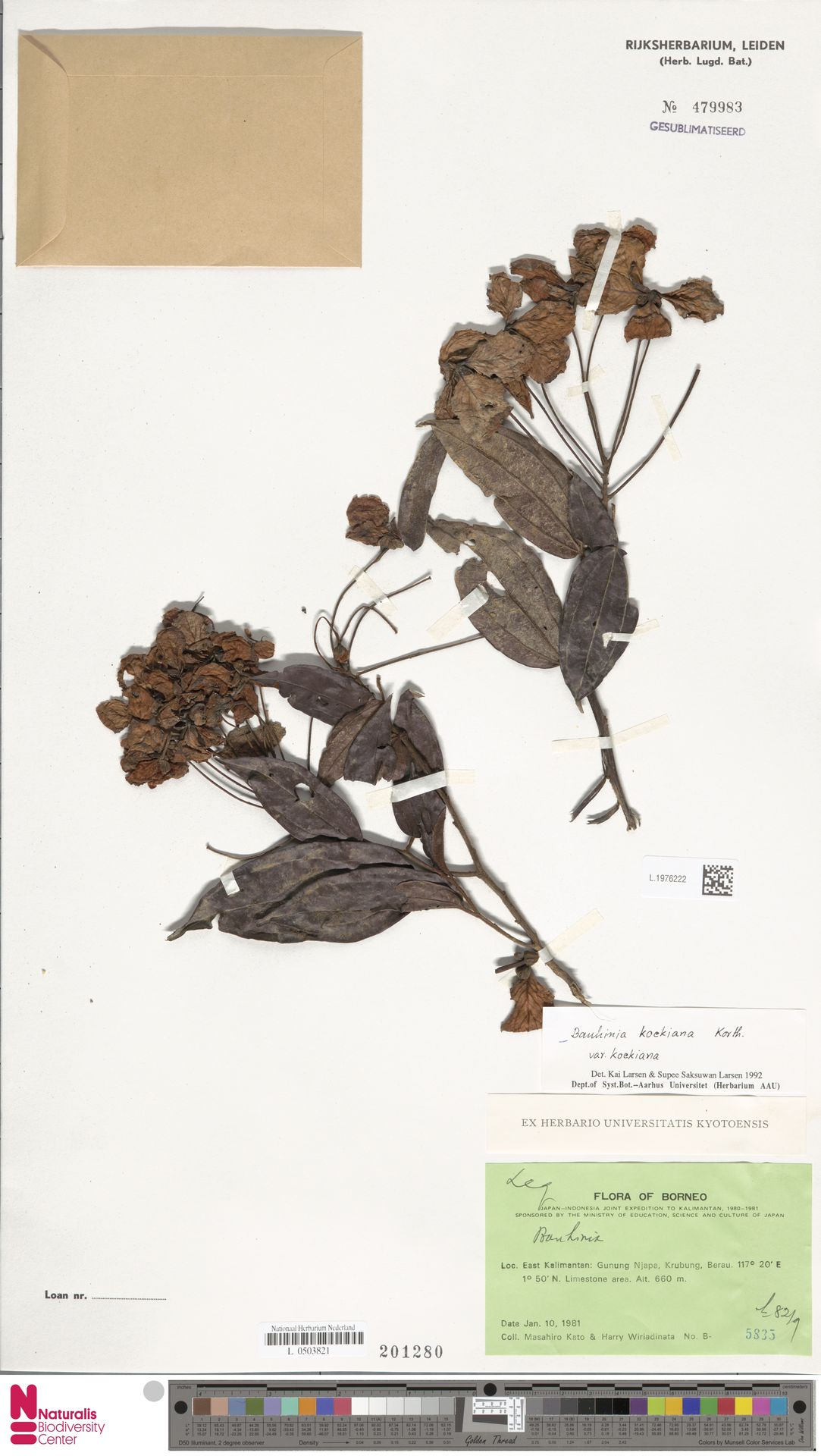 L.1976222 | Bauhinia kockiana var. kockiana