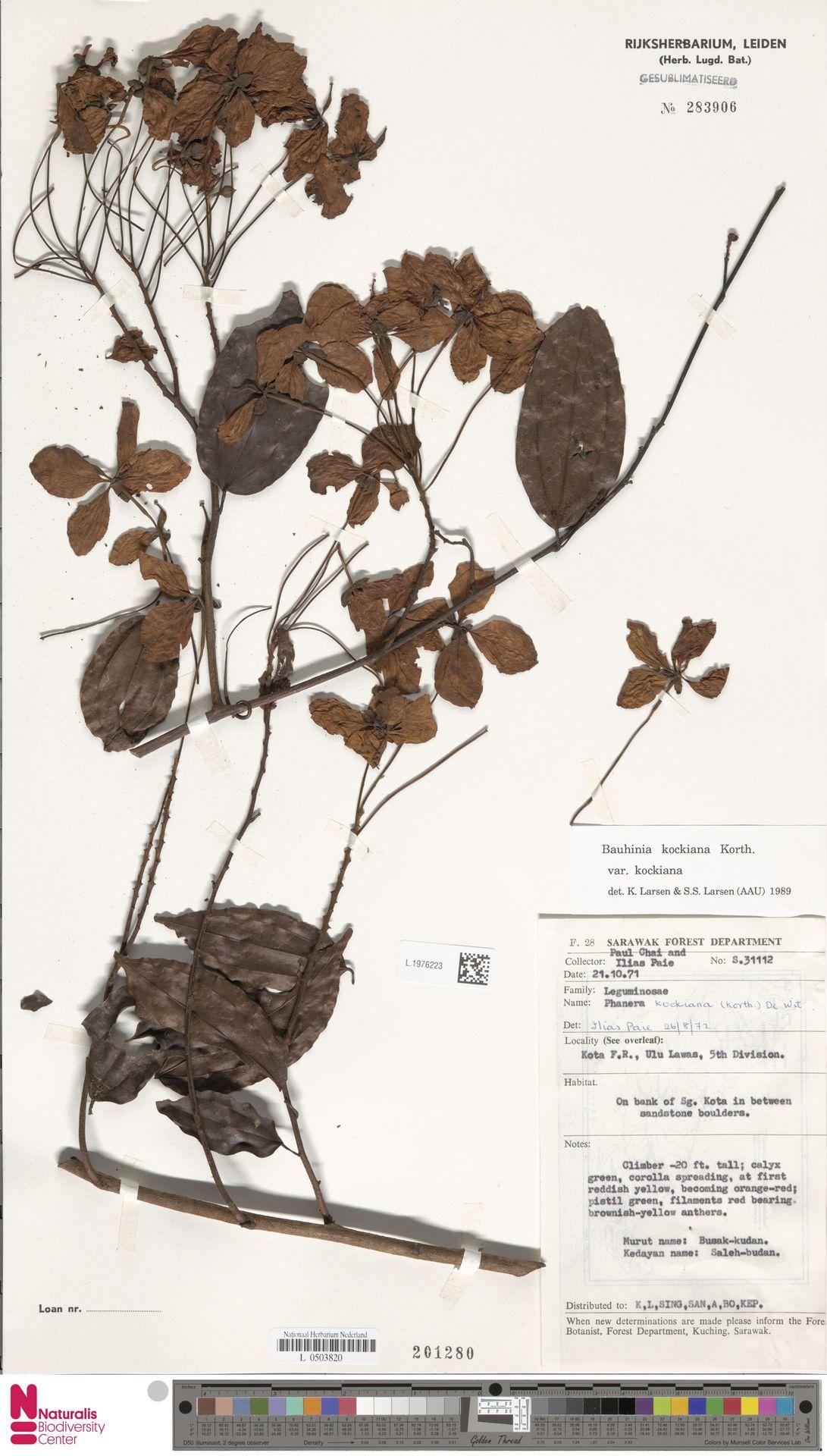 L.1976223 | Bauhinia kockiana var. kockiana