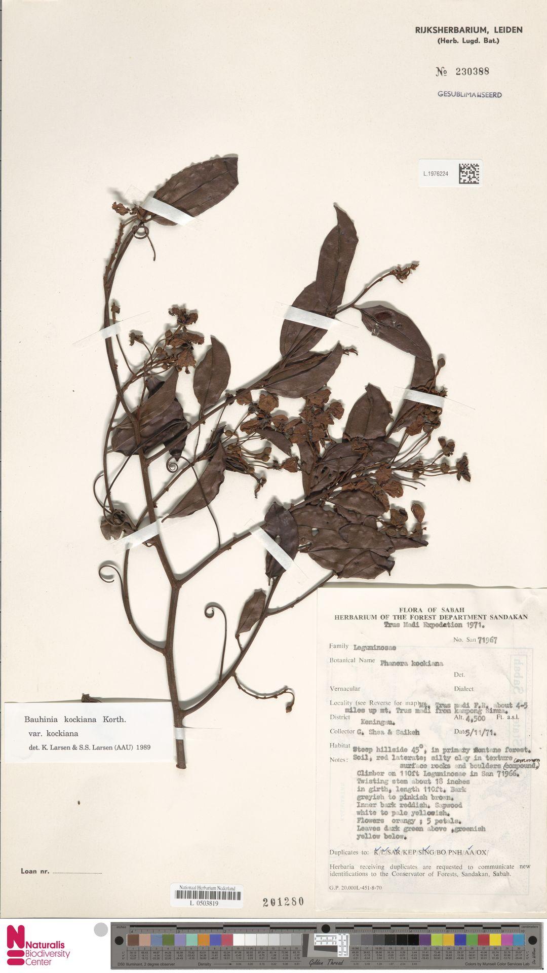 L.1976224 | Bauhinia kockiana var. kockiana