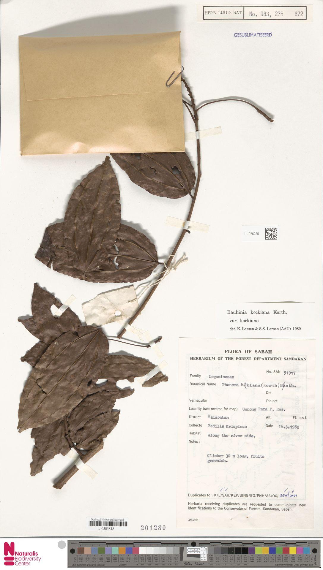 L.1976225 | Bauhinia kockiana var. kockiana
