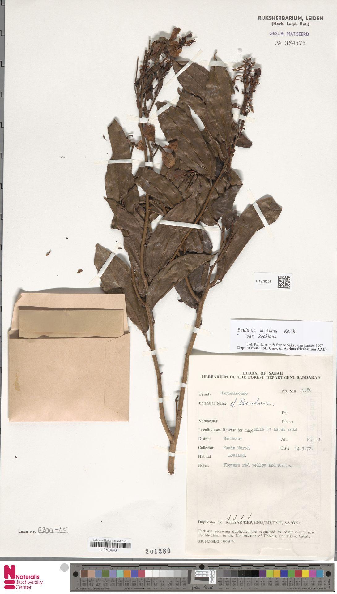 L.1976226 | Bauhinia kockiana var. kockiana