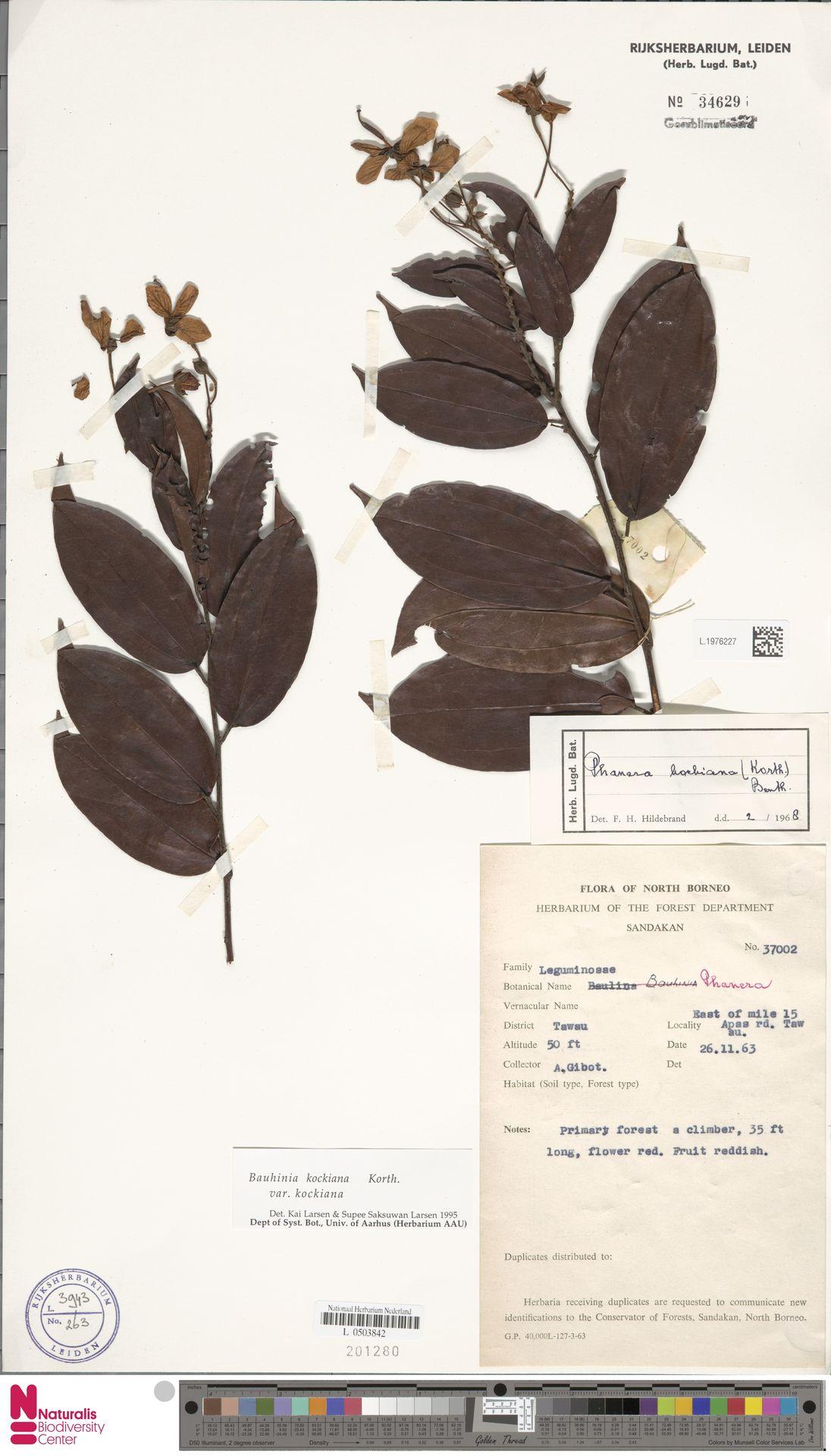 L.1976227 | Bauhinia kockiana var. kockiana