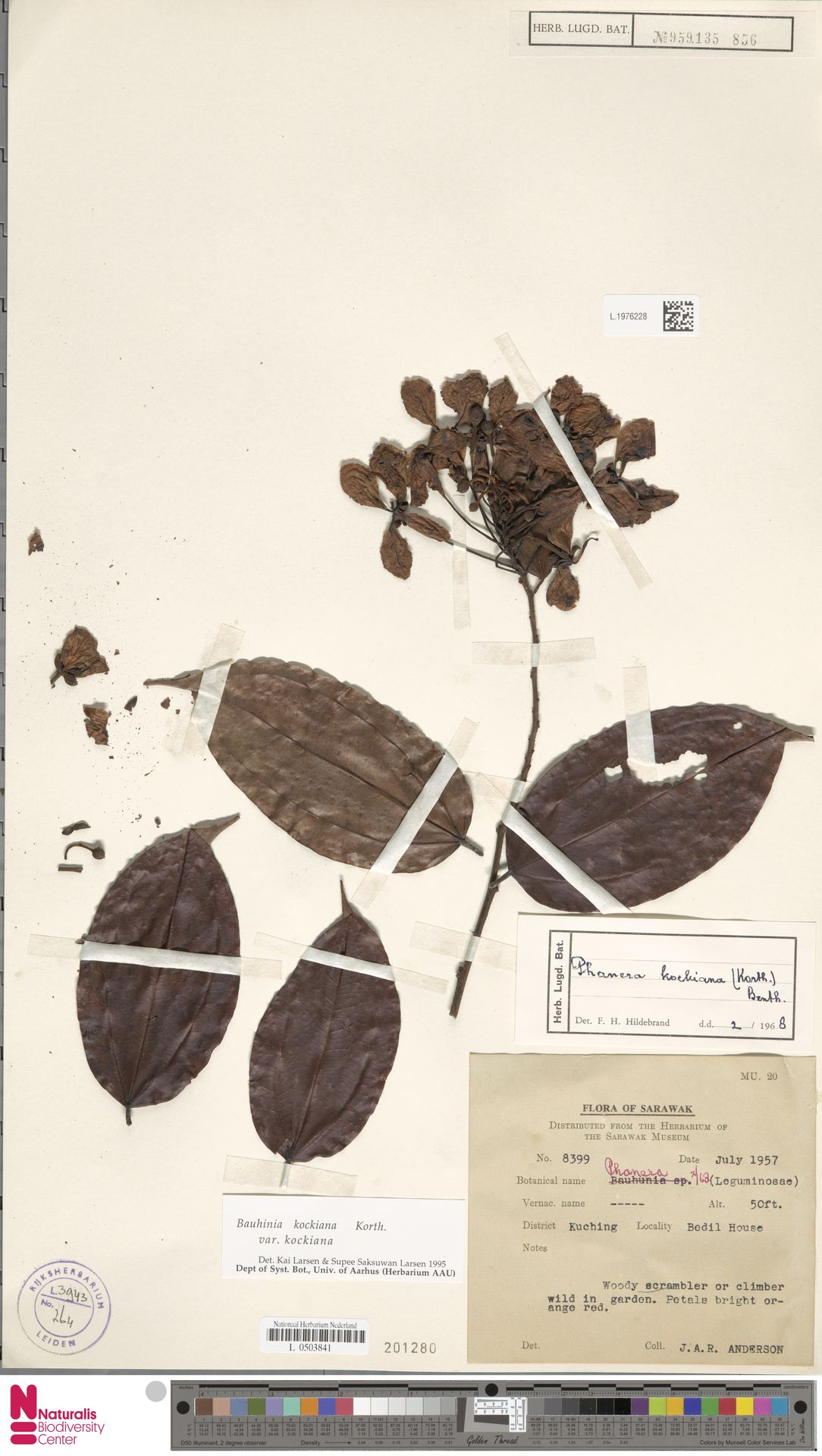 L.1976228 | Bauhinia kockiana var. kockiana