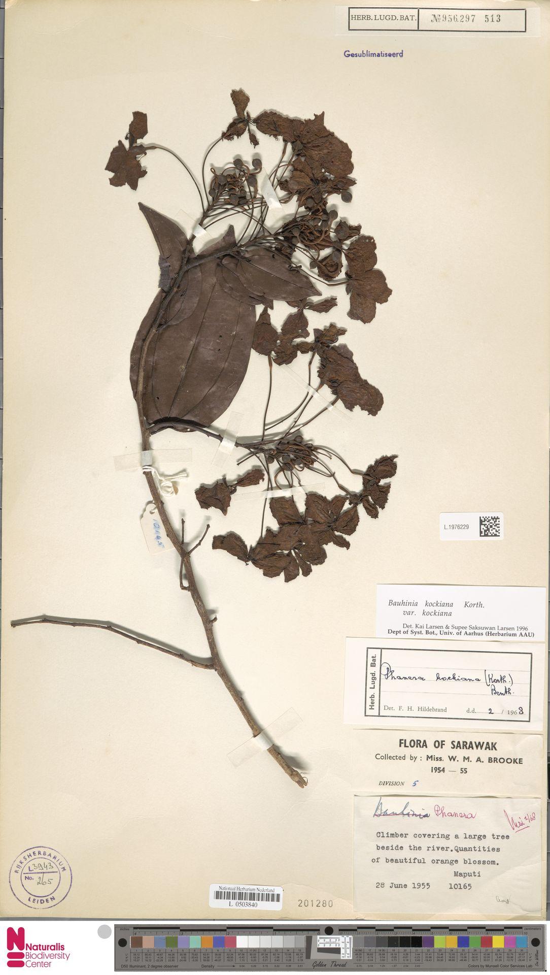 L.1976229 | Bauhinia kockiana var. kockiana