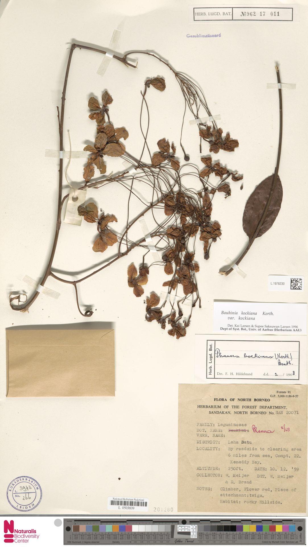 L.1976230 | Bauhinia kockiana var. kockiana