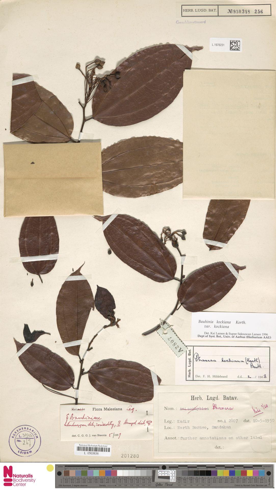 L.1976231 | Bauhinia kockiana var. kockiana