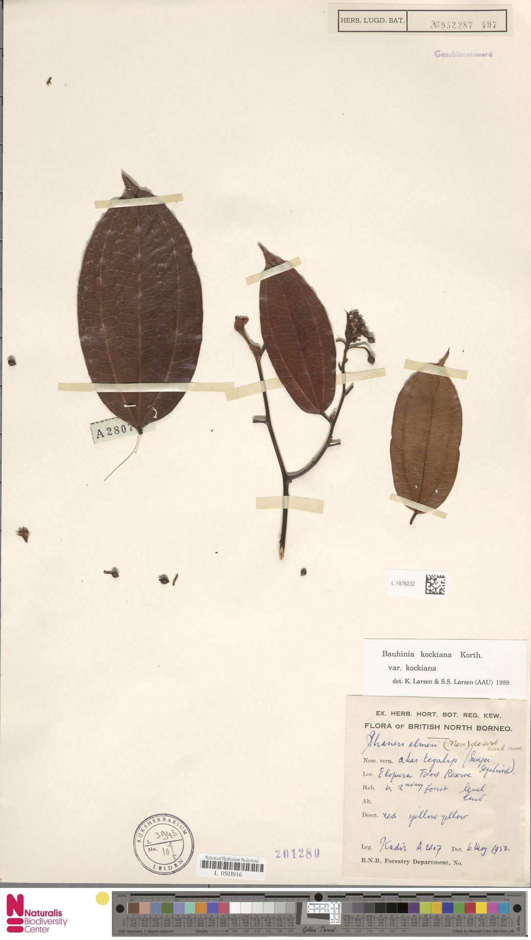 L.1976232 | Bauhinia kockiana var. kockiana