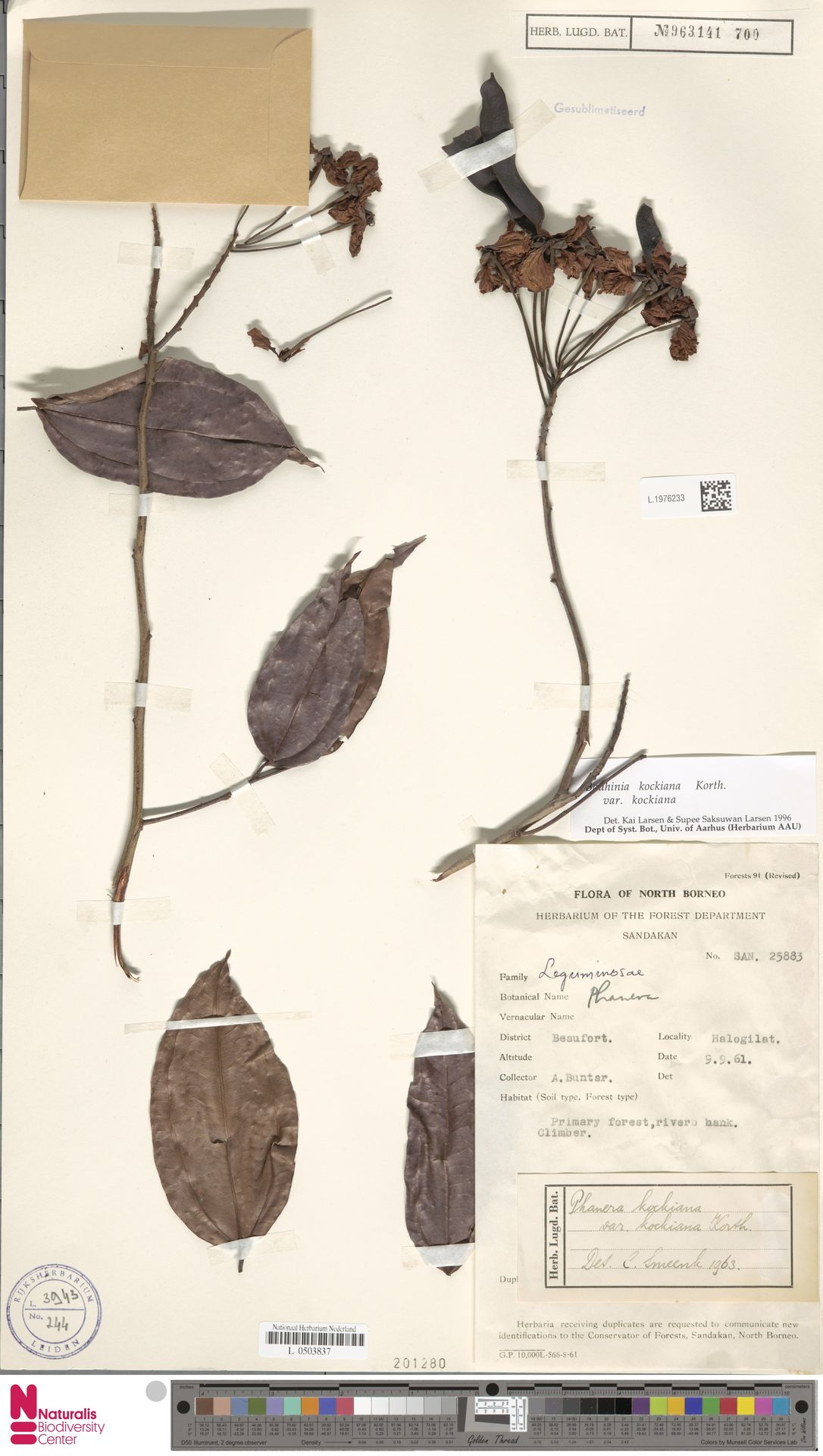 L.1976233 | Bauhinia kockiana var. kockiana