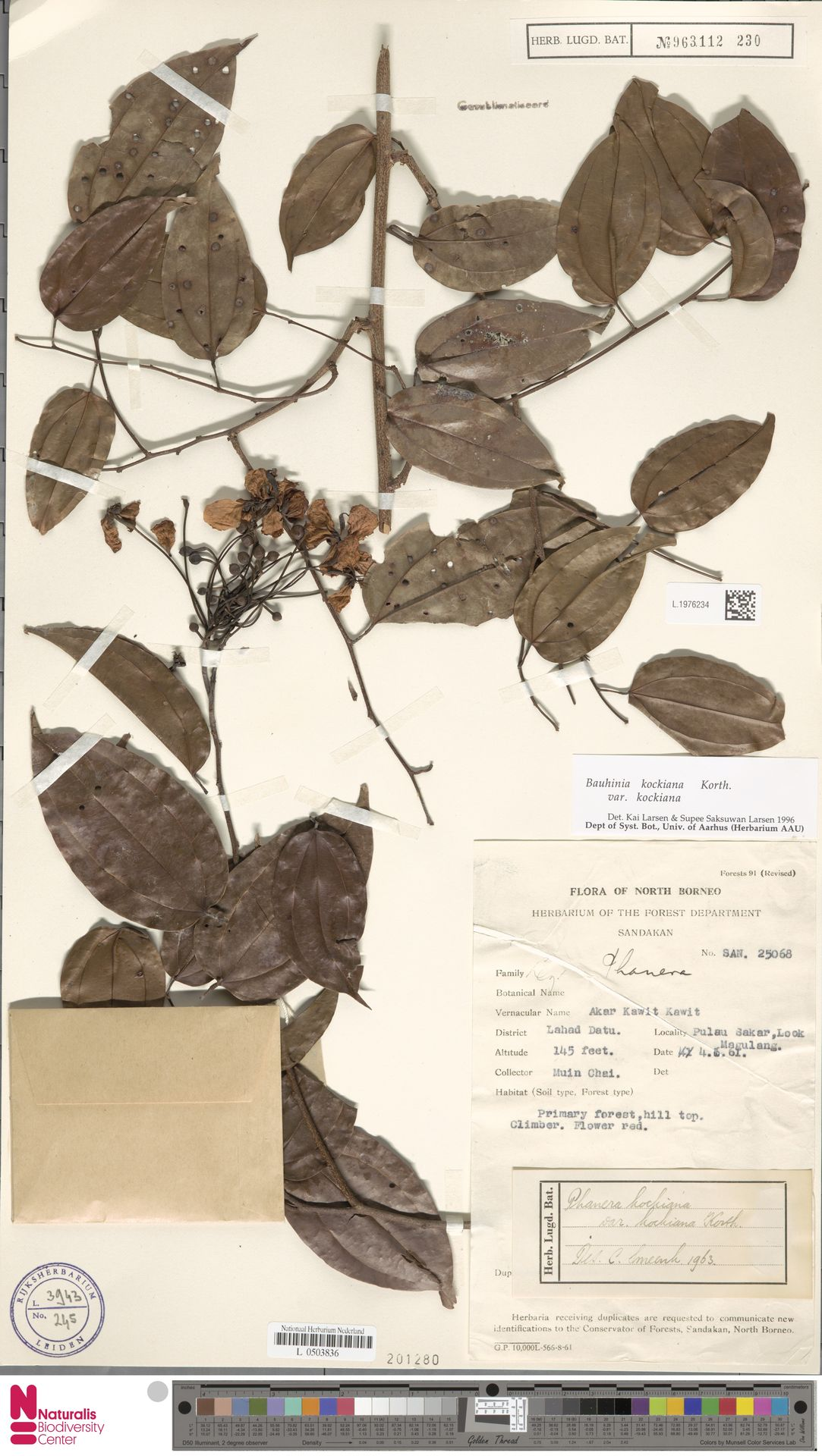 L.1976234 | Bauhinia kockiana var. kockiana