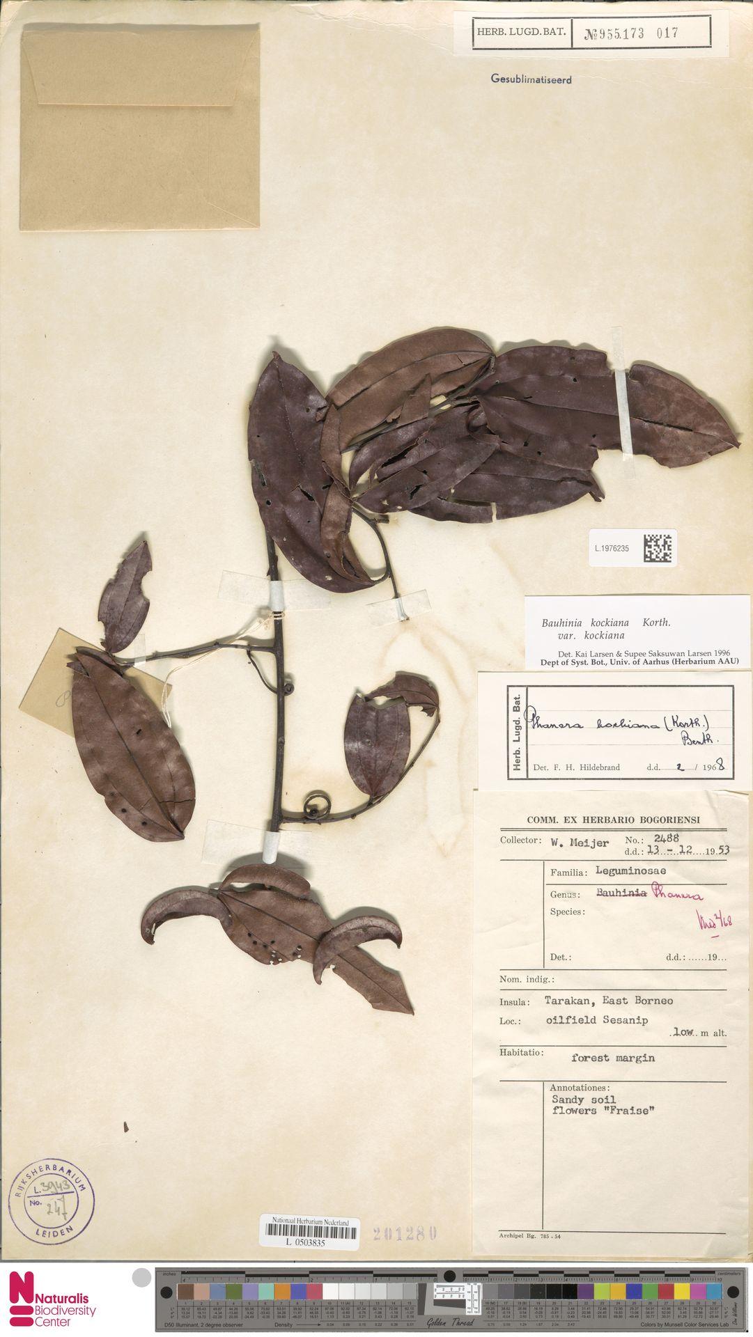 L.1976235 | Bauhinia kockiana var. kockiana