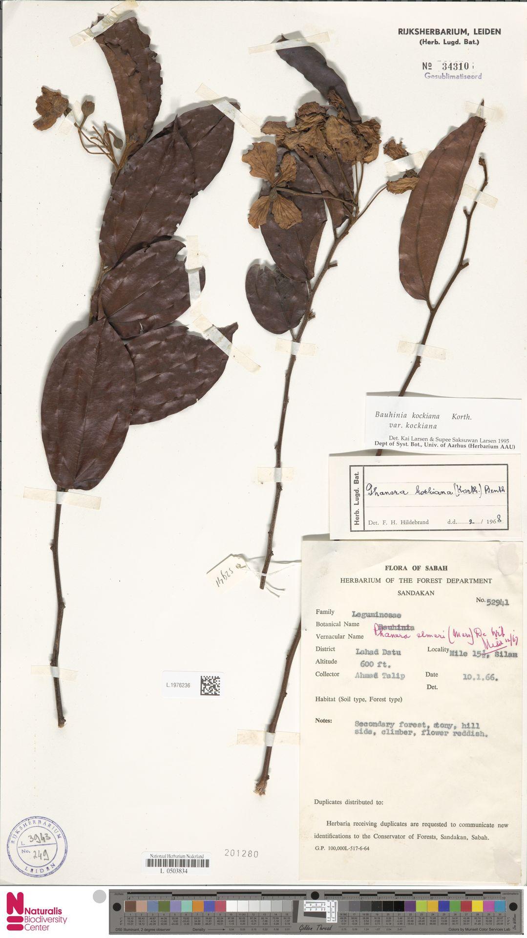 L.1976236 | Bauhinia kockiana var. kockiana